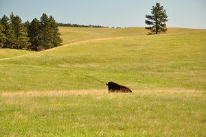 A bison enjoys the grasslands within Wind Cave National Park.